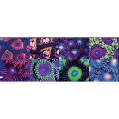 TOP 6 Zoas and Palys