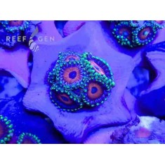 Ultra Eagle Eye Zoanthid