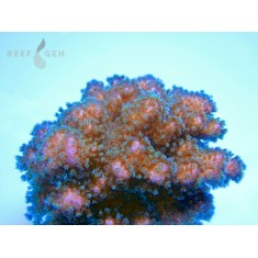 Legacy Pink and Green Pocillopora