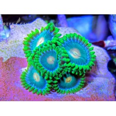 Reverse Blue Eyed Blondie Zoas