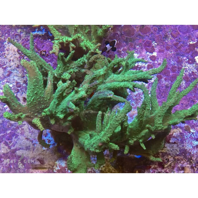 XL Neon Green Schiemer Sinularia Colony