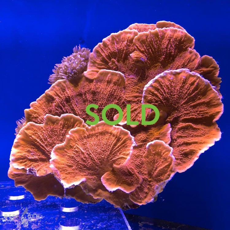 WYSIWYG Large Red Monti Cap Colony