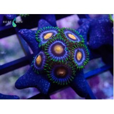 Burger's Purple Portal Zoa